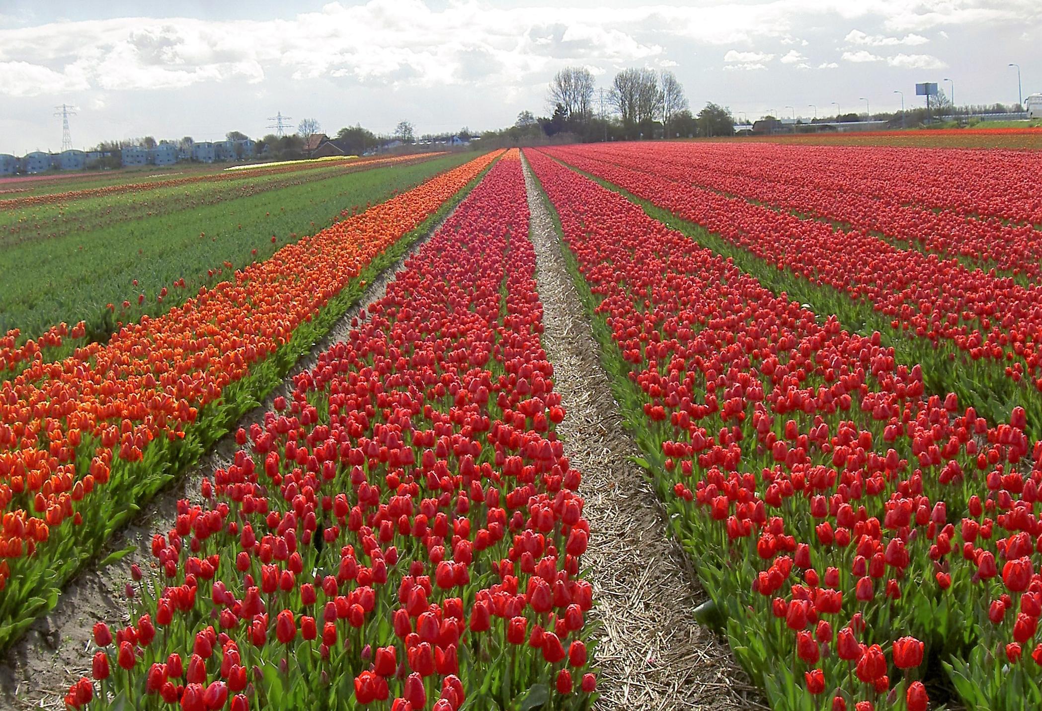 Bulb fields in Holland