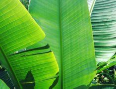 Tropical trends huge tropical leaves