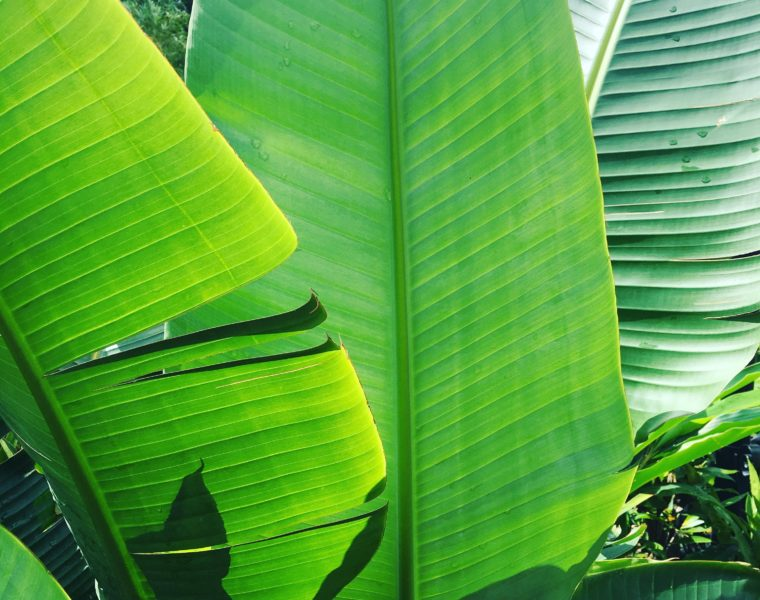 Tropical trends huge tropical leaves