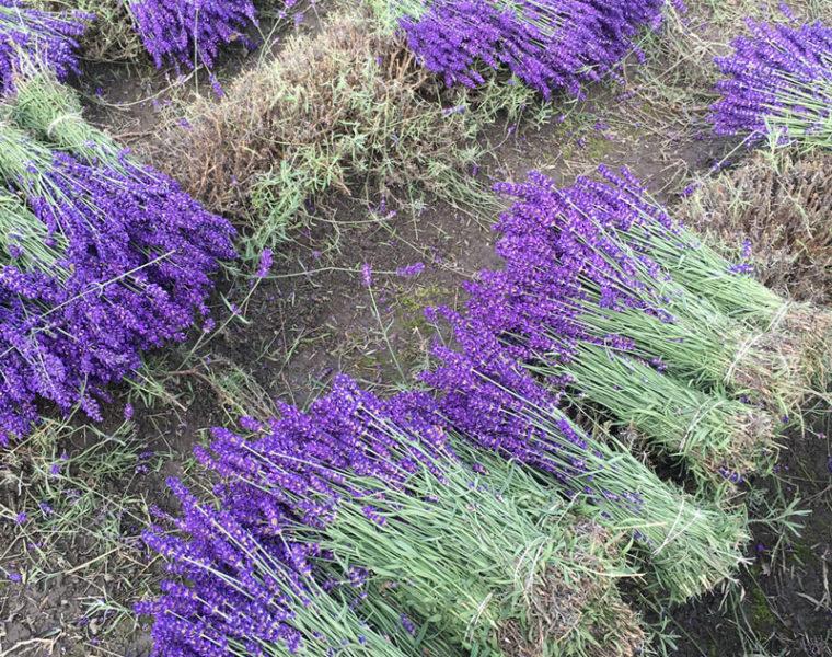 Extra Blue Lavender Harvest