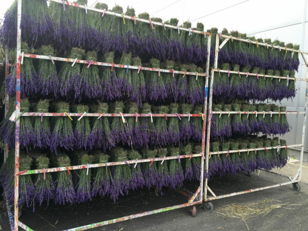Extra Blue Lavender Drying Process
