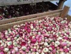 Helichrysum pink loose heads