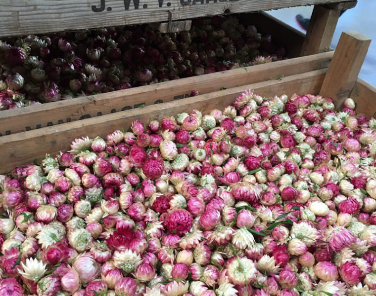 Helichrysum pink loose heads