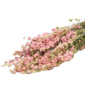 Delphinium natural pink