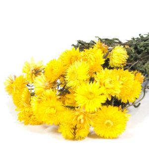 Helichrysum natural yellow bunch