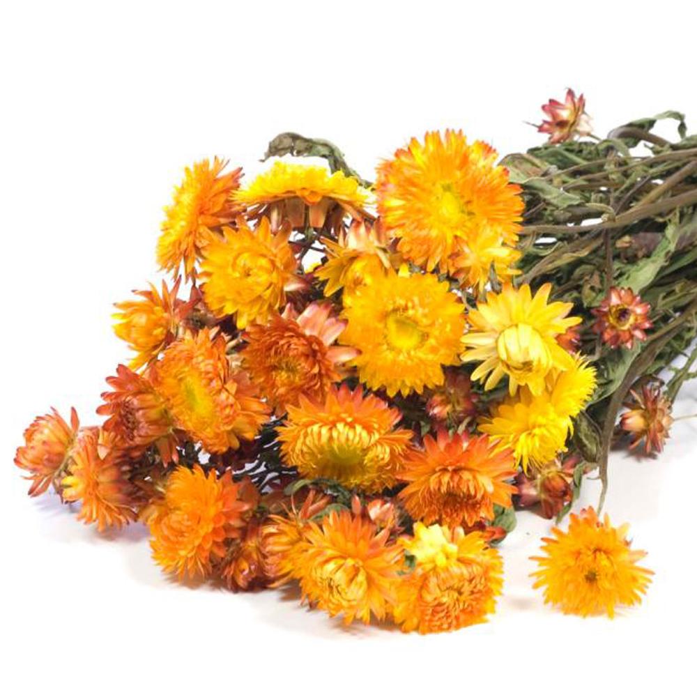 Helichrysum natural orange bunch