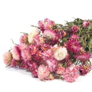 Helichrysum natural pink bunch