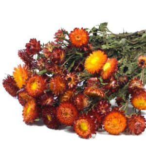 Helichrysum natural red bunch