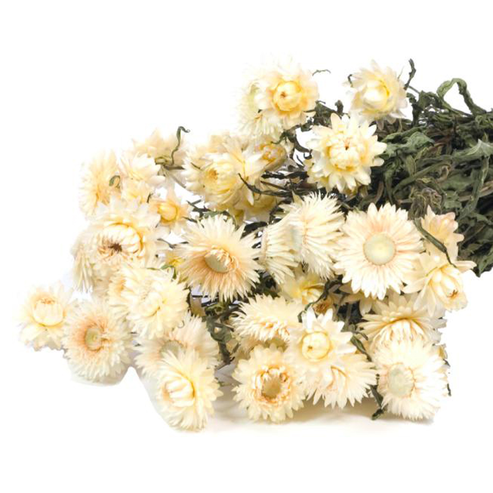 Helichrysum white flower bunch
