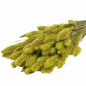 Setaria Dyed Green Dried Bunch