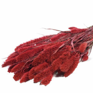 Setaria Red Dried Bunch