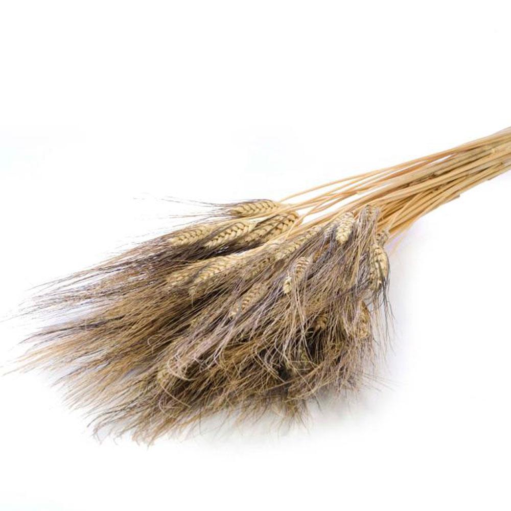 Triticum black wisps stems