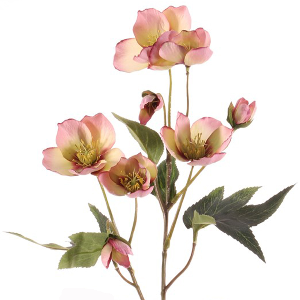 Hellebore pink single 55cm