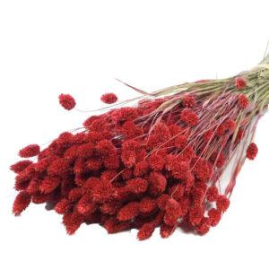Dyed red Phalaris grass