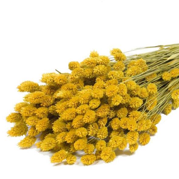 Phalaris Grass Dried Bunch Yellow