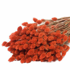 Phalaris Grass Dried Bunch Orange