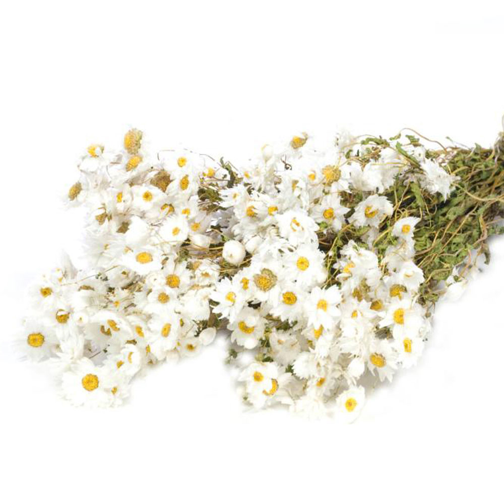 Rodanthe. Natural White, Dried Bunches