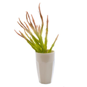 Haworthia Bush Faux, Lime and Red, 32cm Plant