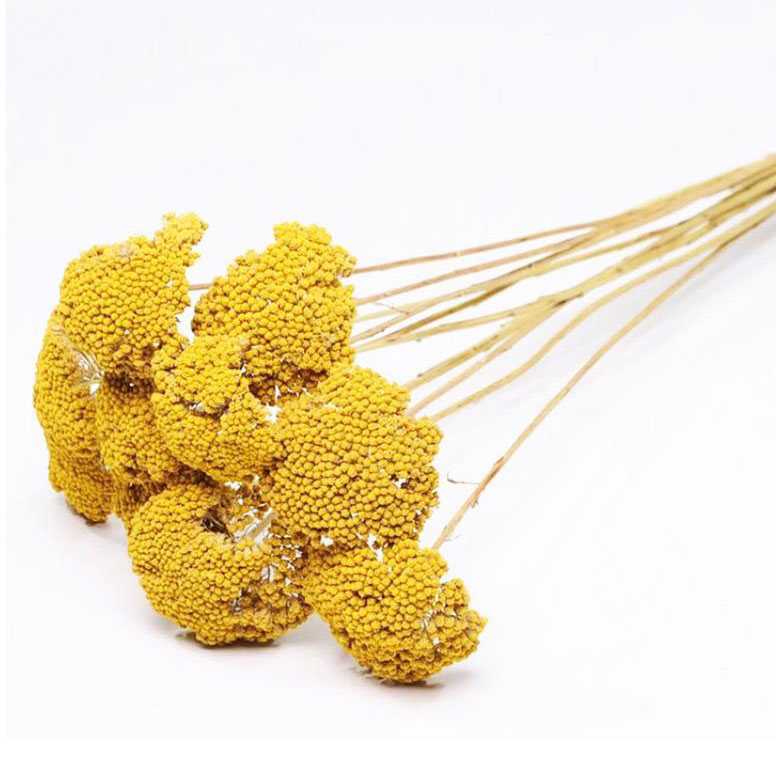 Dried Achillea 'Parker', Natural Yellow, Bunches 60cm Long Stems