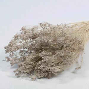 Broom Bloom Dried Bleached Grey