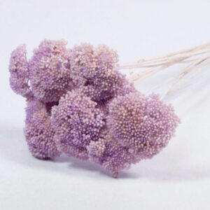 Achillea Lilac Dried