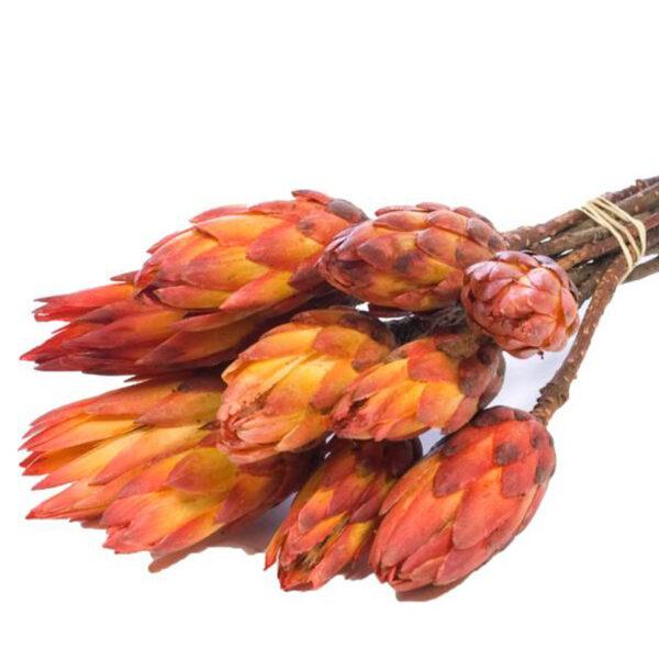 Protea pendula dried