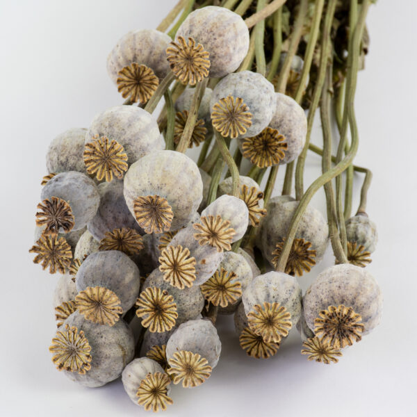 This image shows a bunch of natural coloured, dried poppy heads, laid on a white background