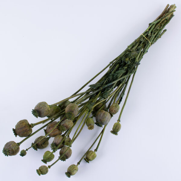 This is an image of a bunch of green, dried poppy seed head stems, against a white background