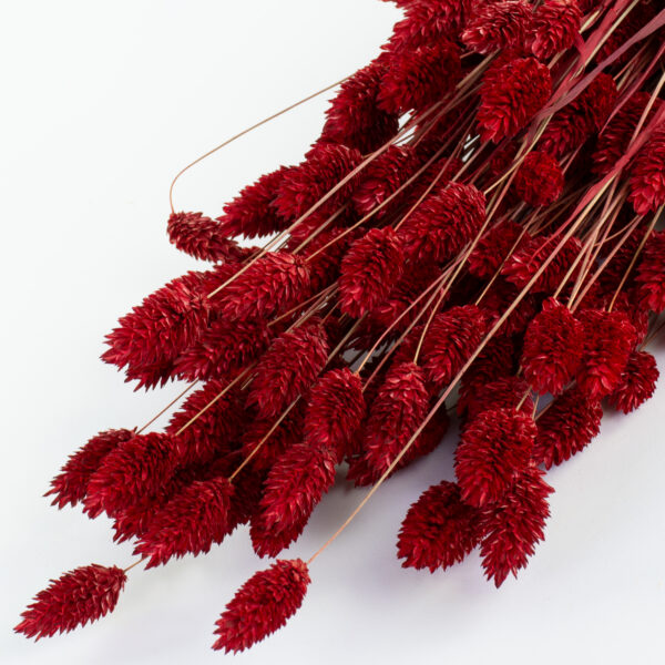 This is an image of a bunch of dried, red phalaris in a bunch, laid on a white background