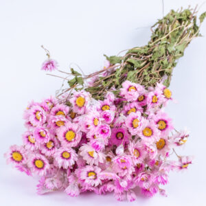 This image shows a bunch of pink Rodanthe flowers, laid on a white background.
