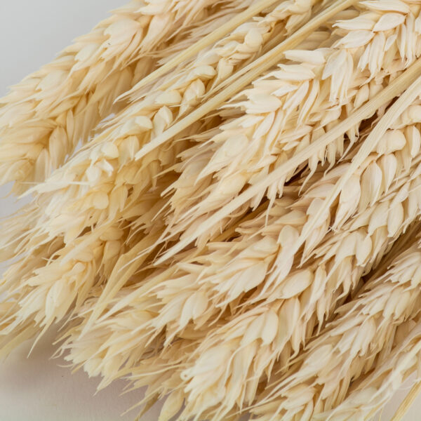 This is an image of a bunch of bleached white wheat, or tarwe, laid on a white background.