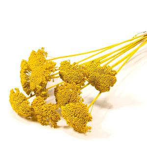 Dried Achillea 60cm Long Stems Yellow Spring Atlas Flowers