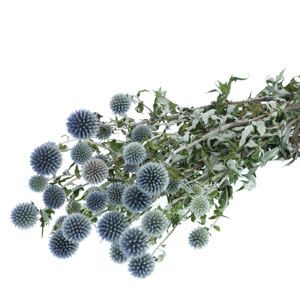 Dried Echinops Natural Blue