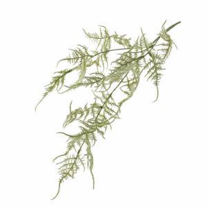 Faux Asparagus, Plumosus