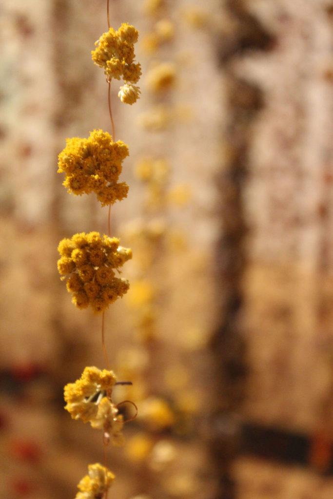 Dried Sanfordii