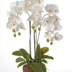 Phalaenopsis 76cm