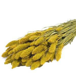 Dried Yellow Setaria