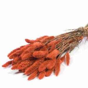 Dried Setaria Orange
