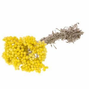 Helichrysum italicum Immortelle