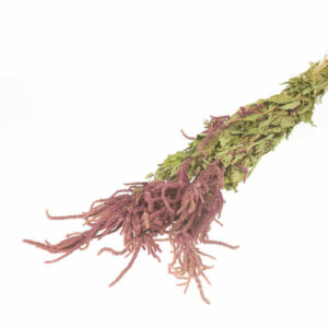 Dried Love Lies Bleeding natural red