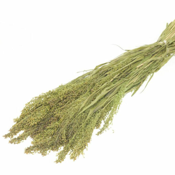 Panicum Natural Green Dried Bunches