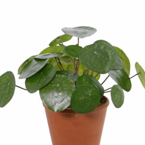 Artificial Pilea
