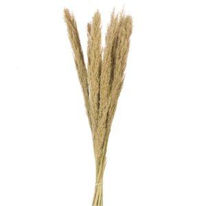 Cane Arundo donax grass, natural