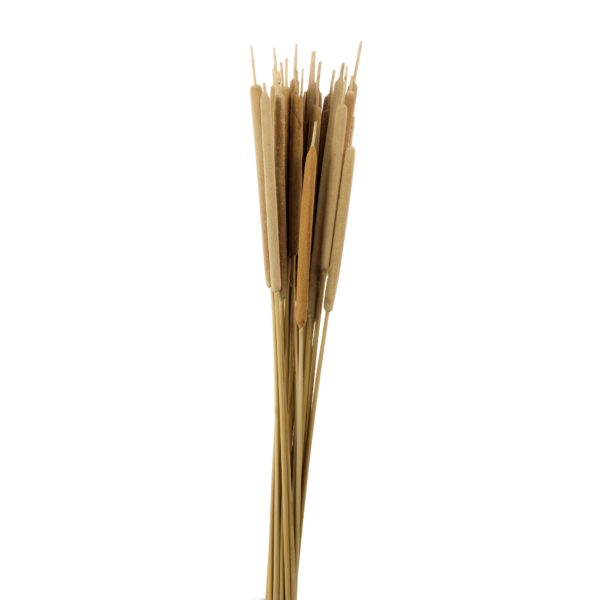 Dried Typha Medium, Natural