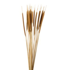 Dried Typha Pencil, Natural