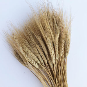 Dried Triticum, Blond Beard Wheat