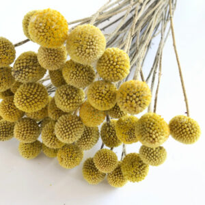 Dried Craspedia, Yellow Billy Buttons