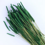 Dried Phleum, Timothy Grass, Green