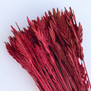 Dried Agropyron or Spiga d'oro, Red