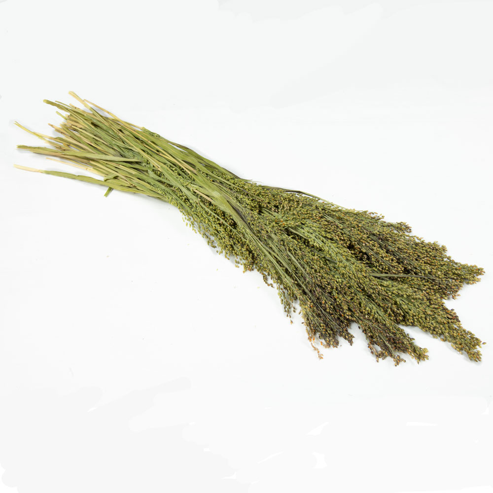 Dried Panicum Grass